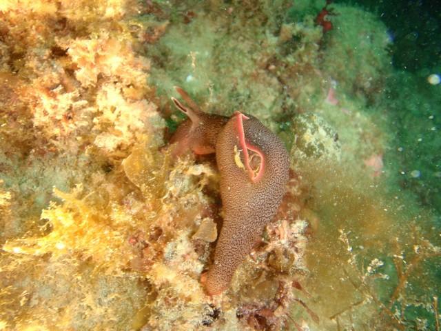 lièvre de mer.